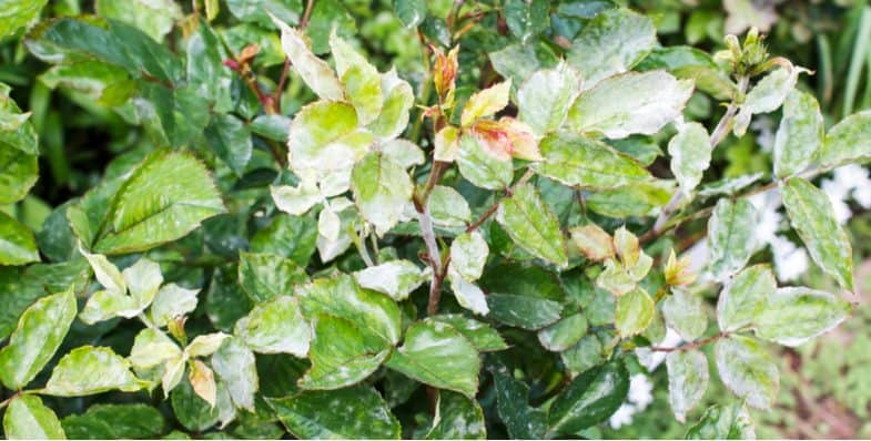 Different rose diseases and how to treat them