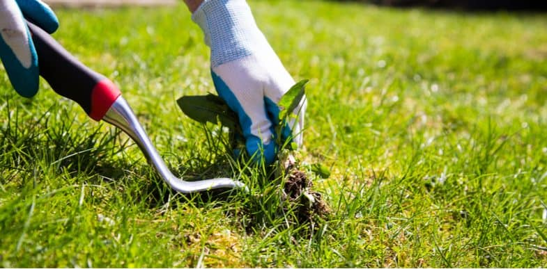 How to get rid of lawn weeds including daisies, clover and dandelions