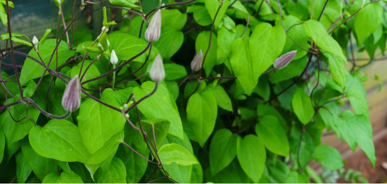 Why your clematis has not flowered and how to encourage flowering