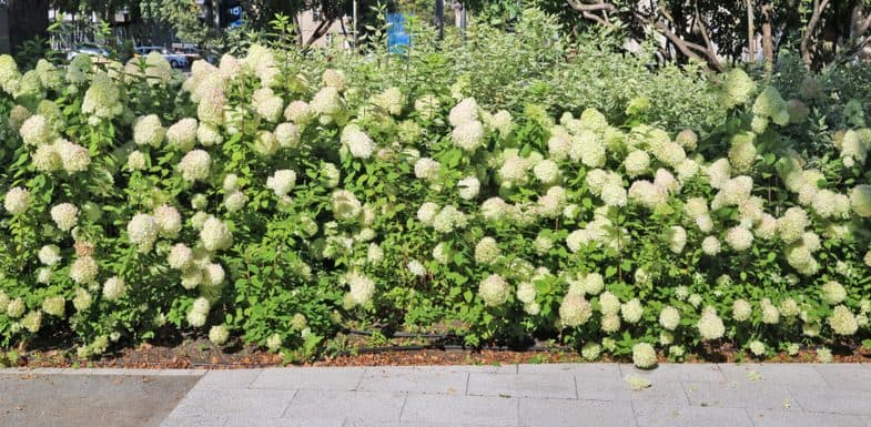 Best hydrangeas types for making a hedge