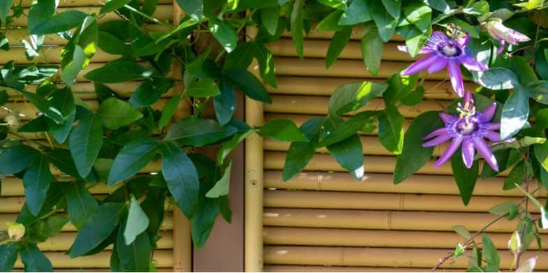 Top 8 evergreen climbing plants for fences