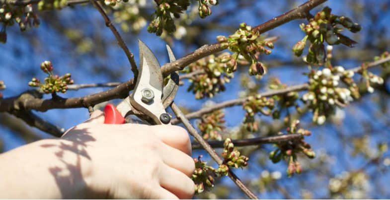 How to prune a cherry tree