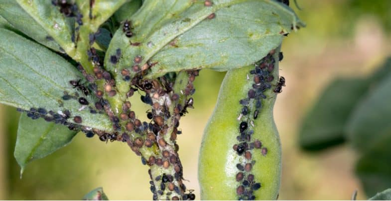How to control Blackfly on broad beans