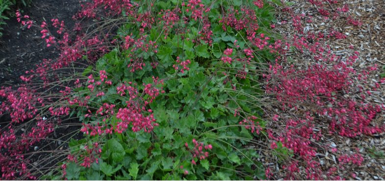 When and how to divide Heuchera (Coral Bells)