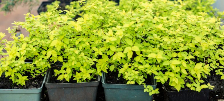 How to propagate spirea bushes by taking cuttings