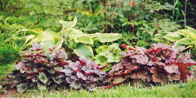 How to take heuchera cuttings successfully