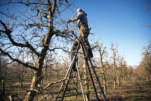 Pruning pear trees