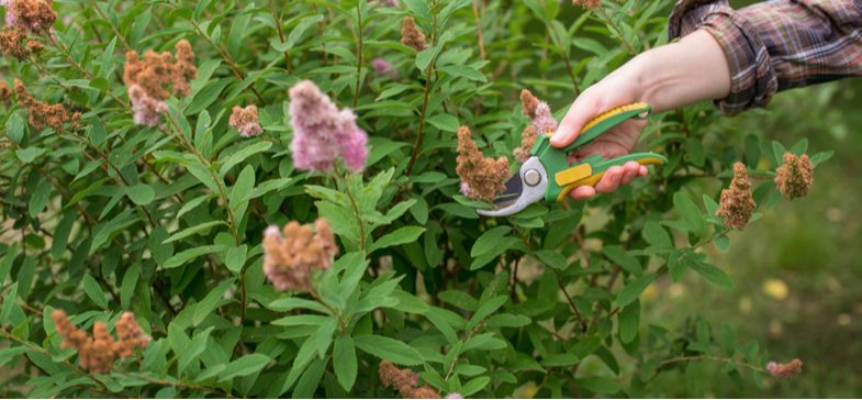 When to prune spirea including early flowering varieties and summer flowering Spirea