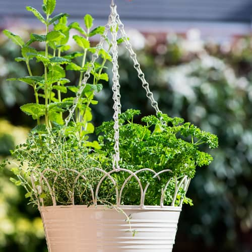 herbs planted in hanging baskets
