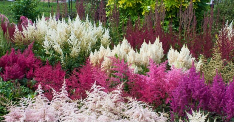 Astilbe propagation – Propagating astilbes by division step by step