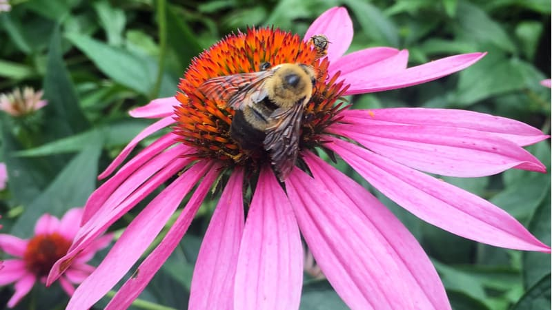 Bees are in decline in the Uk so in this guide, we look at 12 of the best perennials for bees that provide colour and pollen and nectar year after year.