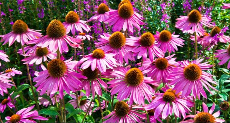 12 Best perennials for clay soil that provide colour year after year