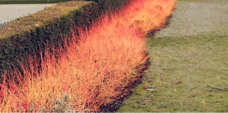 Cornus known as dogwoods is renowned for there spectacular winter display / bright stems. Read our growing Cornus guide to learn how to plant, care and pruning.