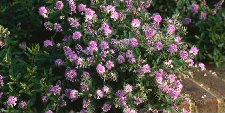 Growing hebes, general care, pruning, propagation and more