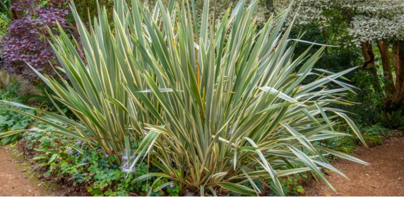 Growing phormiums, general care, propagating by division and winter protection