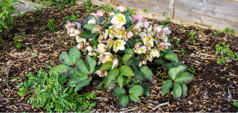 Hellebore propagation by division and sowing seeds