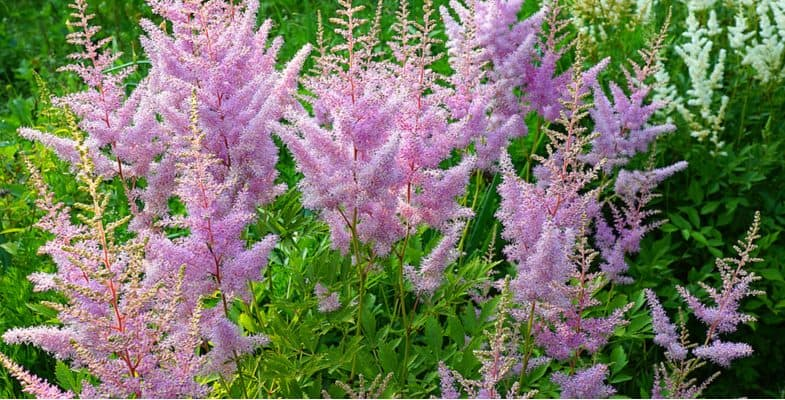 How and when to divide astilbes – step by step