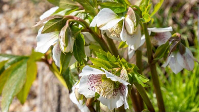 How to grow Hellebores – Planting and care guide for growing Christmas Rose
