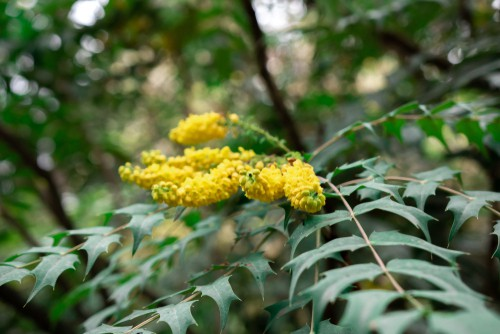 How to grow Mahonia media charity