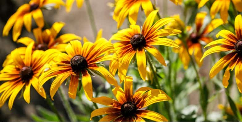 How to grow black-eyed Susan – Rudbeckia care guide