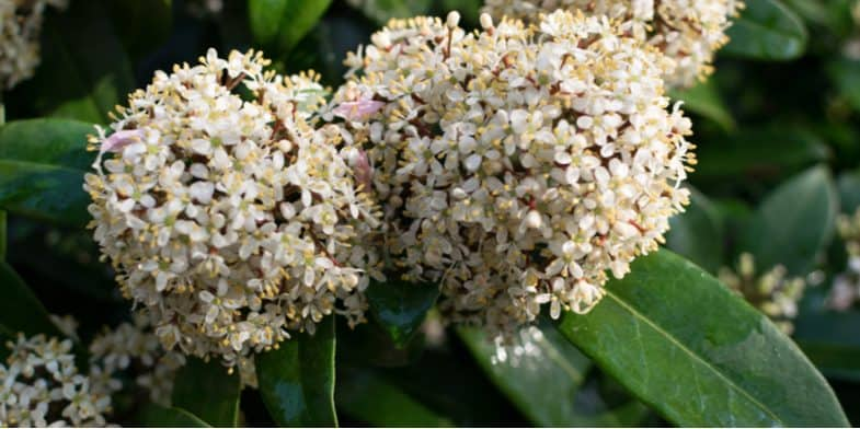 How to grow Skimmia – Growing and Care Guide