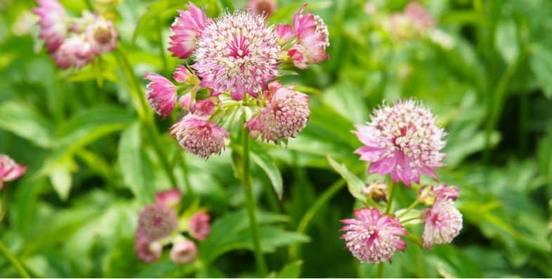 How to plant and grow Astrantia (Masterwort)