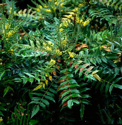 How to plant Mahonia media Charity