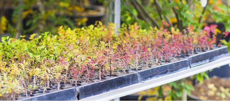 How to propagate berberis by taking cuttings
