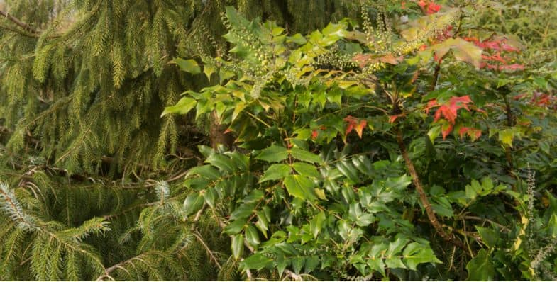 How to prune a mahonia