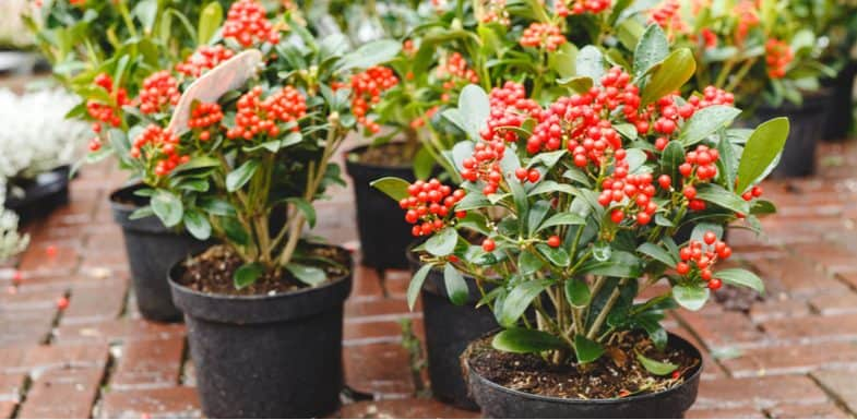 How to take cuttings from skimmia japonica