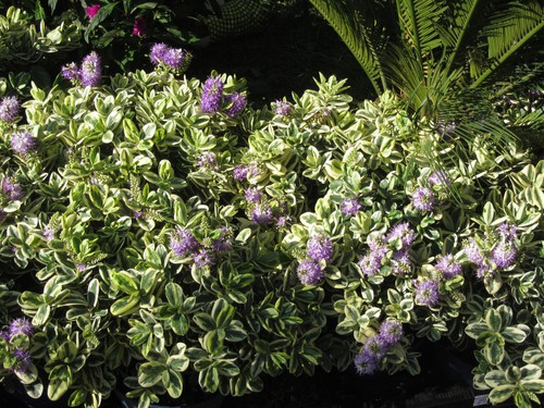 How to take cuttings from hebes