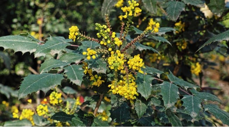 Mahonia x media 'charity' planting and care guide