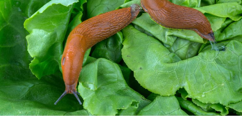 Organic ways to stop slugs eating the plants in your garden