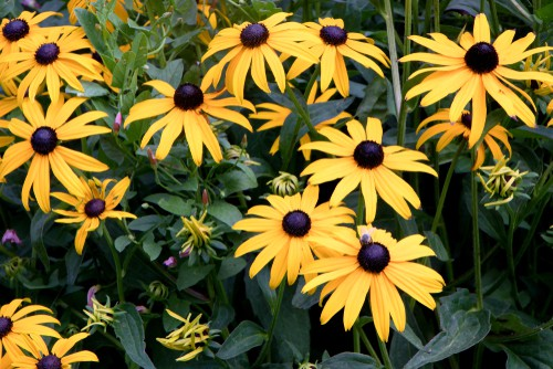 Rudbeckia care