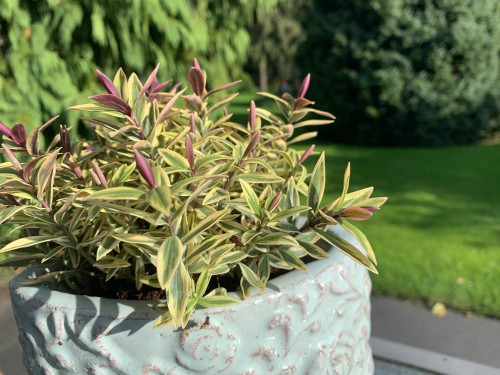 Growing hebes in pots and containers