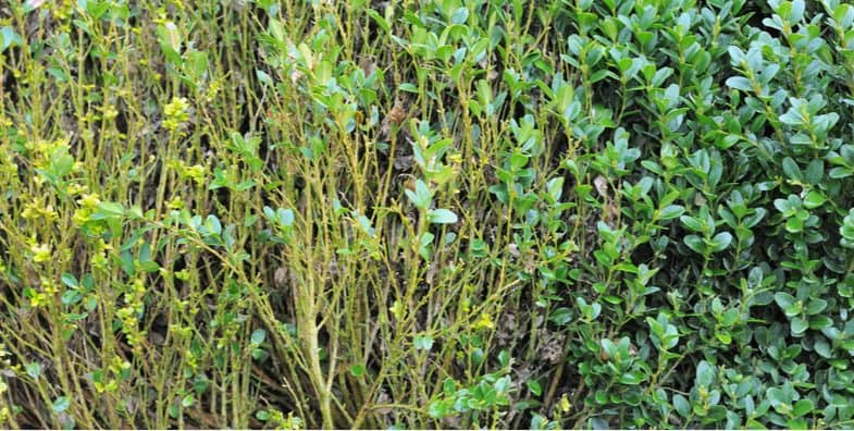 Buxus problems – Box Blight and other diseases