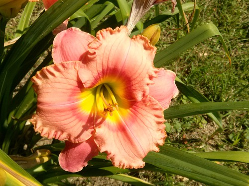 Growing daylilies from seed