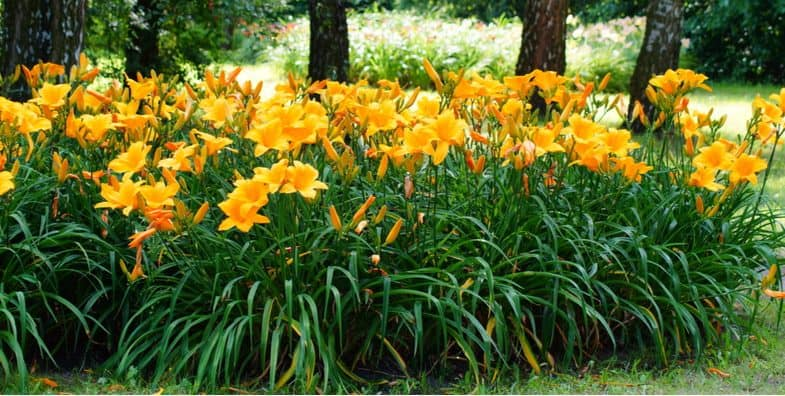 Growing hemerocallis – How to plant and grow Daylilies