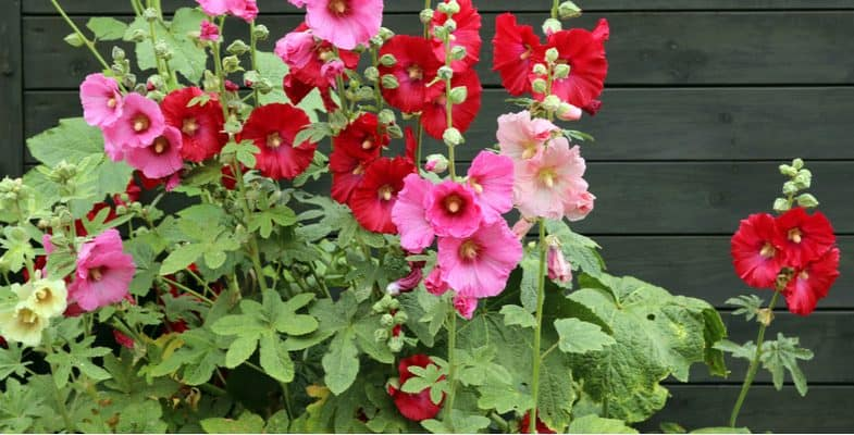 Growing hollyhocks, planting and care guide (Alcea rosea)