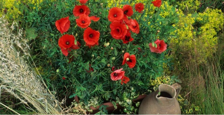 Growing poppies in pots and containers