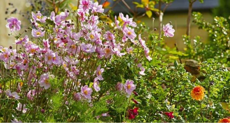 How and when to divide Japanese anemones