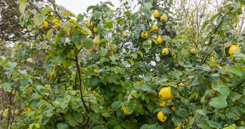 How and when to prune quince trees