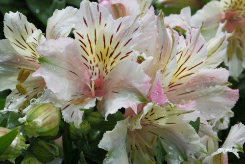 how to divide and propagate alstroemeria