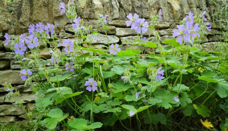How to divide hardy geraniums