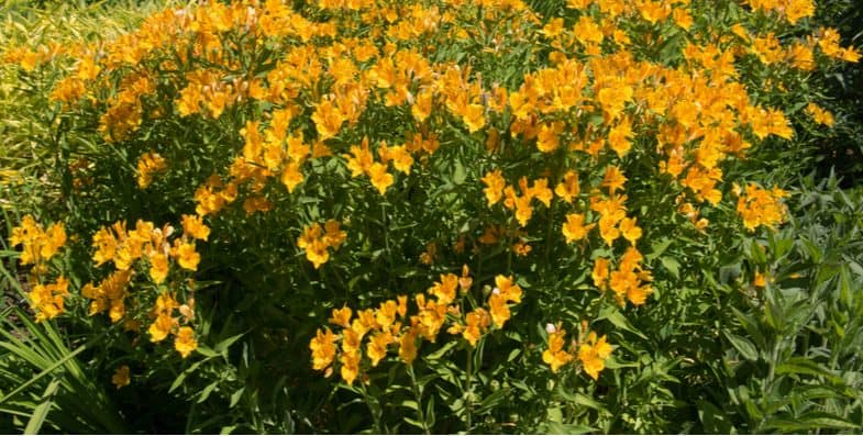 How to grow alstroemeria (Peruvian lily)