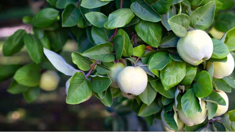 How to grow quince trees which are a great addition to your fruit tree collection