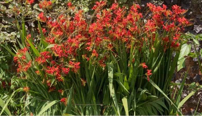 How to grow crocosmia to get the most out of these stunning plants