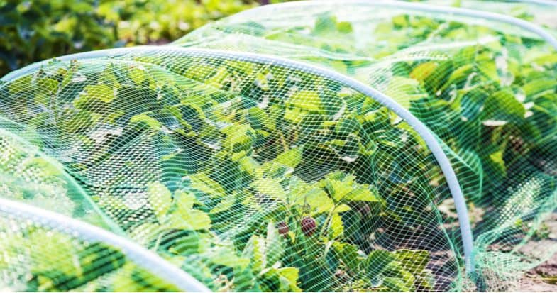 How to keep pests off strawberries