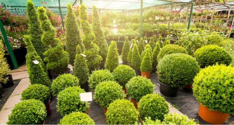 How to plant and grow Buxus topiary and hedges