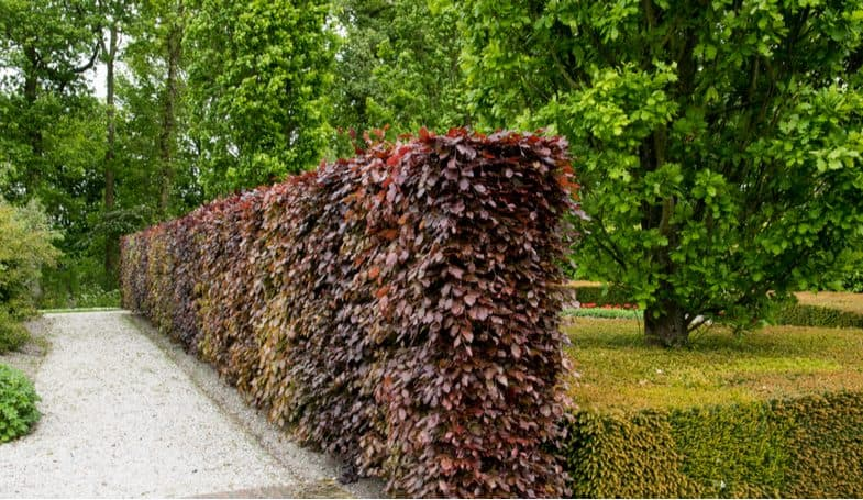 Top 8 Low maintenance hedges for providing privacy